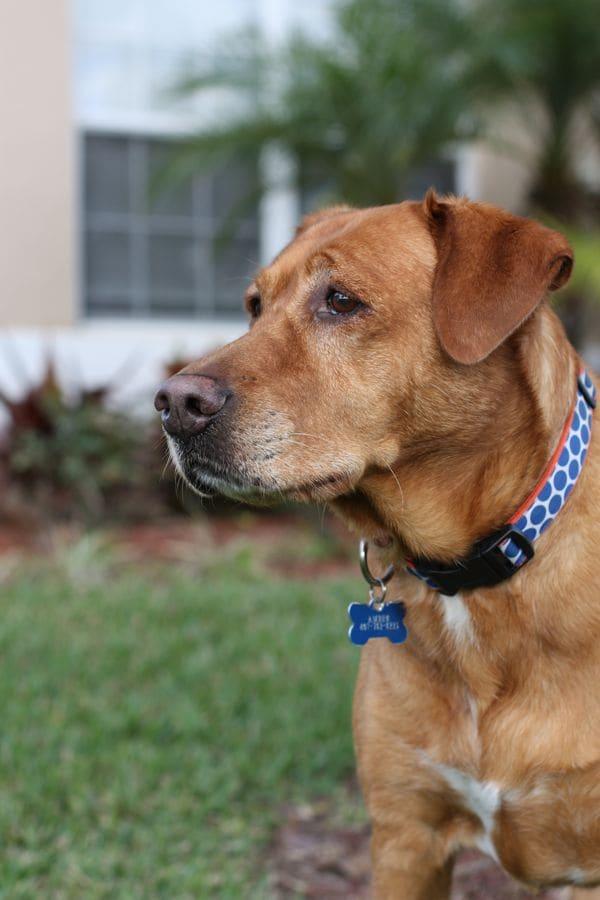 Amber the Dog | Aggie's Kitchen