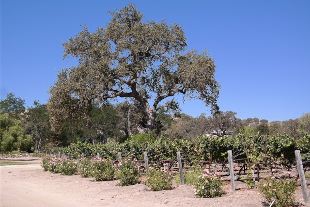 A Day at Fess Parker Winery, Santa Barbara with Princess Cruises